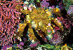 A Decorator Crab selects seaweed and small animals and attaches them to its shell as mobile camouflage. California, United States.