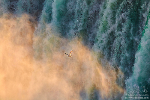 Herring Gull Flying In Mist from Niagara Falls, Ontario, Canada