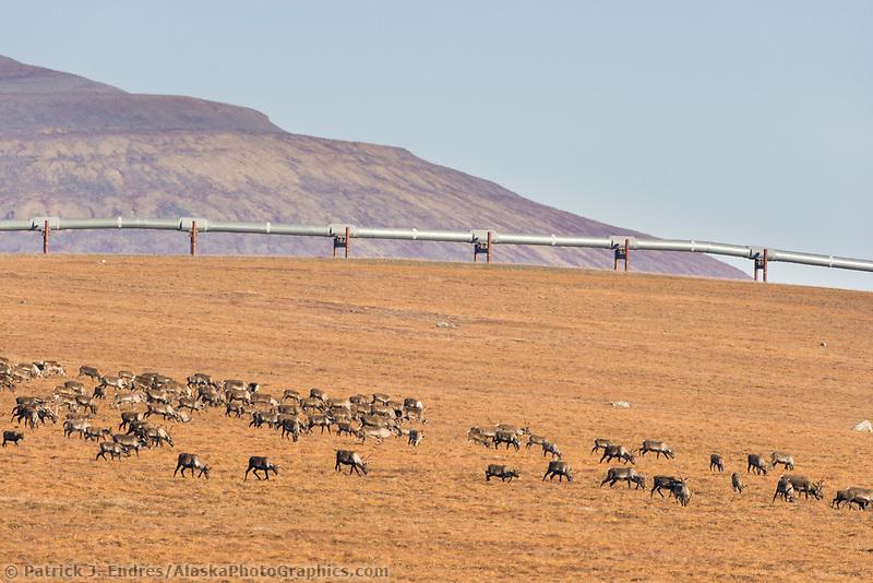 Barren ground caribou, rangifer tarandus, migrate across the tundra north of the Brooks range, Arctic, Alaska.