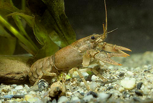 1Y06-018z  Crayfish