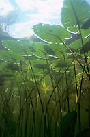 Underwater Scene (water lily)<br /> <br /> Engbretson Underwater Photography
