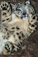 654403036 a young snow leopard cub panthera uncia lays on its back against a large log in its enclosure in a zoo - species is highly endangered in the wild - species is native to the high steppes of central asia