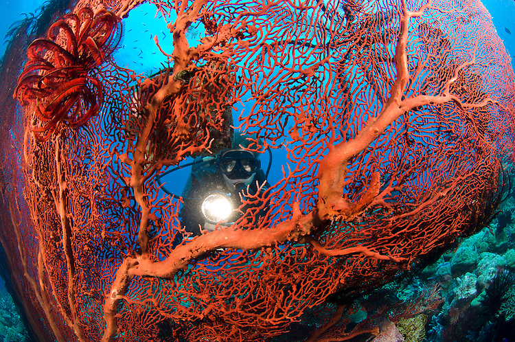 Red sea fan (Melithaea sp) with diver peering through with torch, Susan's reef, Kimbe Bay