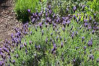Lavandula stoechas pedunculata Spanish lavender herb plant in purple flower herb