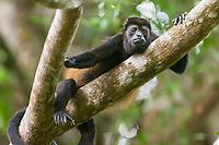 Mantled Howler monkey, Tortuguero, Costa Rica, Central America.