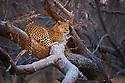 Botswana, Chobe National Park, Savuti, female leopard (Panthera pardus) resting on tree branch