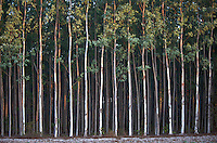 Stands of Eucalyptus trees being grown for paper pulp in Thailand. The trees are biologically engineered to reach maturity in 3 to 4 years. There is much controversy over them amongst environmental groups.
