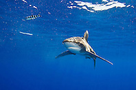 Oceanic Whitetip Shark, Carcharhinus longimanus, and Pilot Fish, Naucrates ductor, off Kona, Big Island, Hawaii, Pacific Ocean.