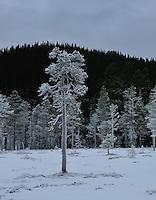 Rimfrost på furu, Pinus sylvestris,