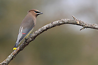 The Cedar Waxwing is a medium-sized, sleek bird with a large head, short neck, and short, wide bill. Waxwings have a crest that often lies flat and droops over the back of the head. The wings are broad and pointed, like a starling's. The tail is fairly short and square-tipped.