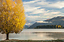 Autumn poplar lakefront, Lake Wanaka New Zealand