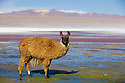 Bolivia, Altiplano, Llama in Laguna Colorada