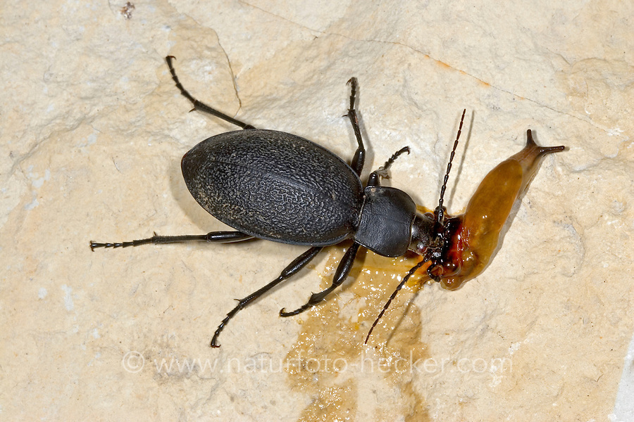 Lederlaufkäfer, erbeutet und frisst Nacktschnecke, Leder-Laufkäfer, Lederkäfer, Carabus coriaceus, leatherback ground beetle, leather beetle