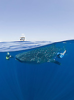RX2175-D. Whale Shark (Rhincodon typus) swimming just under the surface while people (model released) swim alongside the 25 foot gentle giant. Gulf of Mexico, Mexico, Caribbean Sea.<br /> Photo Copyright &copy; Brandon Cole. All rights reserved worldwide.  www.brandoncole.com
