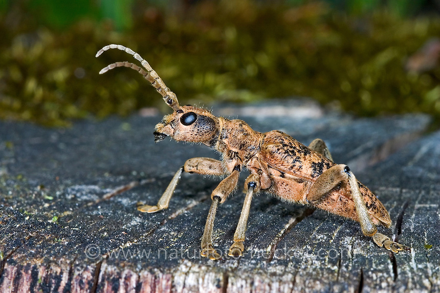 Eichenzangenbock, Eichen-Zangenbock, Großer Zangenbock, Großer Laubholz-Zangenbock, Laubholzzangenbock, Pinchbuck, Rhagium sycophanta, Longhorn Beetle
