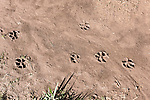 Brazoria County, Damon, Texas; two sets of footprints left in the mud overnight by a pair of Bobcats (Lynx rufus)