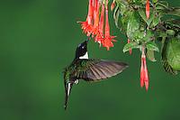 Collared Inca (Coeligena torquata), male feeding from fuchsia flower, Papallacta, Ecuador, Andes, South America