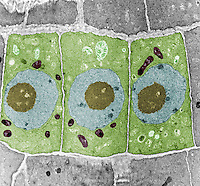 Onion ,Allium, root cells, showing the nucleus, leucoplasts, mitochondria, and cell walls. TEM X6000.