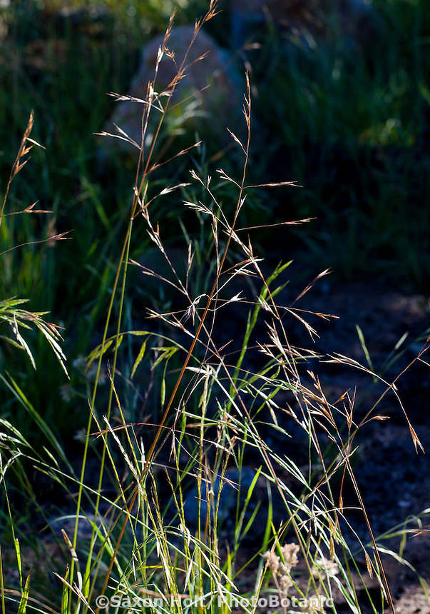 Bromus carinatus, Mountain Brome, California native grass in Sierra meadow
