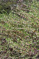 Lonicera fragrantissima, Winter honeysuckle in flower in spring