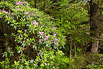 Blooming rhododendron in the forest along the slopes of Mount Mitchell