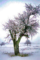 Hoar Frost in Old Orchard. Impressionistic painterly effect applied