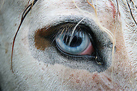 Close up of a white horse with bright blue eyes,(Wall eye) at the Puck fair horse market, Killorglin,County Kerry, Ireland