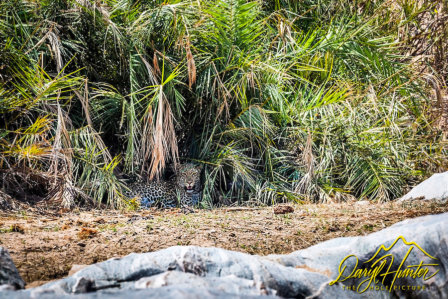 Leopard escaping the afternoon sun in a Palmetto thicket along the riverbank in Kruger National Park.