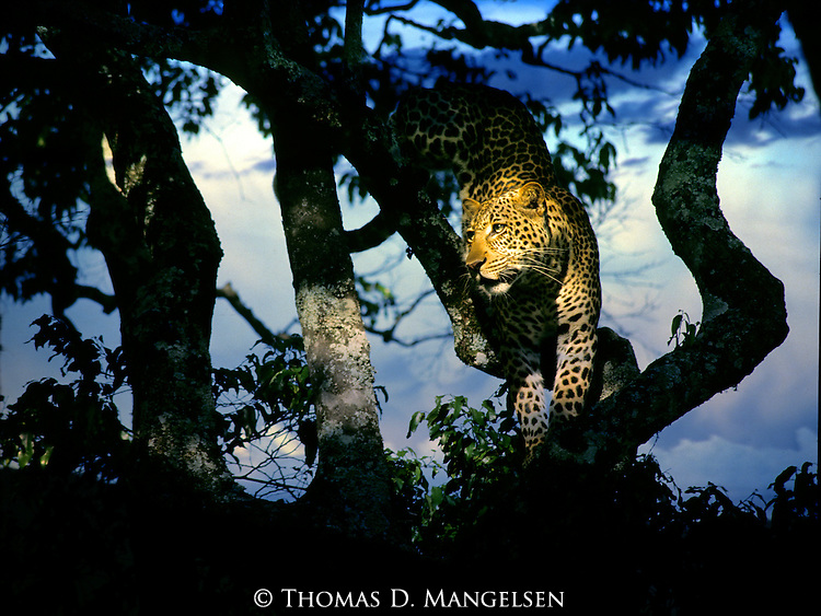 Leopard (Panthera pardus) climbing down from a tree in Maasai Mara, Kenya.