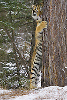 Siberian Tiger standing and peering out from behind a tree - CA