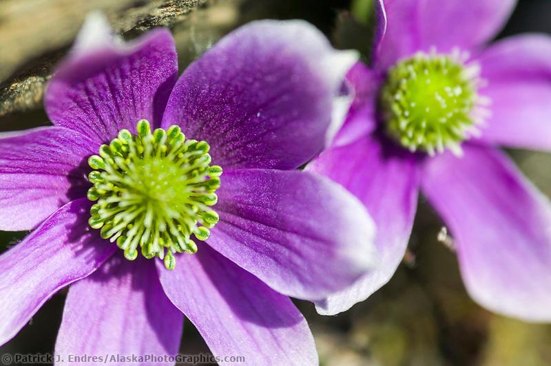 Purple anemone, Brooks range mountains, Arctic National Wildlife Refuge, Alaska