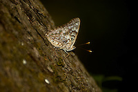 Hackberry butterfly chased through a forest and photographed on the side of a tree near Tallahassee, Fl.