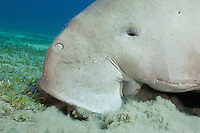 RZ0151-D. Dugong (Dugong dugon), feeding on seagrass in a shallow bay. Muscular, flexible lip helps to dig grasses out of substrate. Usually found along coastlines in bays and channels near seagrass beds. Grows to 4 meters long, 400 to 1000 kilograms. Egypt, Red Sea.<br /> Photo Copyright &copy; Brandon Cole. All rights reserved worldwide.  www.brandoncole.com
