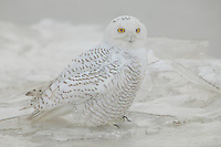 Snowy Owl (Nyctea scandiaca) standing on frozen ice on the Hudson river