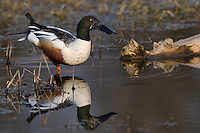 578380012 a wild male or drake northern shoveler anas clypeata in a pond at colusa national wildlife refuge califonia
