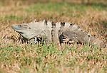 Black spiny-tailed iguana, Ctenosaura similis, on the grounds of Punta Leona Hotel and Resort, Costa Rica