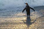 South Georgia Island, Grytviken, king penguin (Aptenodytes patagonicus)