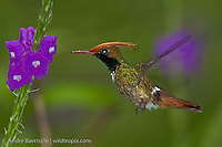 Rufous-crested Coquette (Lophornis delattrei), male hovering at a flowering shrub in lower montane rainforest, Manu National Park, Madre de Dios, Peru.
