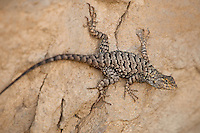 425900002 a wild male great basin fence lizard sceloporus occidentalis longipes perches on a rock along chalk cliffs road bishop california united states
