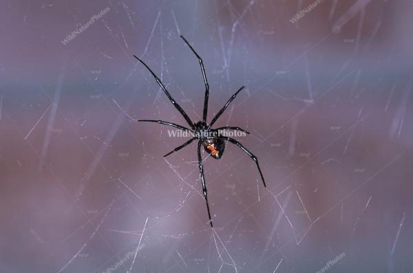 desert black widow spider - photo #17