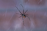 Black Widow, Latrodectus hesperus, female on  web; Sonoran Desert, Arizona