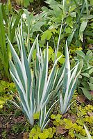 Variegated Iris pallida 'Argentea Variegata' foliage amid Lysimachia nummularia 'Aurea'