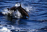 Pacific bottlenose dolphins leap out of the Sea of Cortez off the coast of Baja California, Mexico.