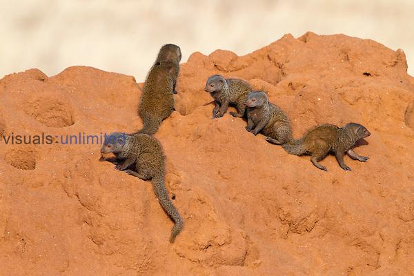 Common Dwarf Mongoose (Helogale parvula) family group sunning at termite mound, Samburu Game Reserve, Kenya, Africa.