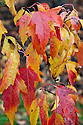 Tatar or Tartar maple (Acer tataricum subsp. ginnala), end October. Sometimes called the Amur maple (Acer ginnala).