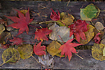 Red Japanese Maple leaves and leaves on bench, fine art, environmental, nature, ecology, ecosystem, environmentalism,    ©2012. Jim Bryant Photo. ALL RIGHTS RESERVED.
