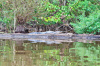 Captured this aligator sunbathing on this log in the Honey Island Swamp outside of New Orleans Lousianna. We thought the reflection was nice in the water.