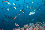 Cocos Island, Costa Rica; an aggregation of Pacific Creolefish (Paranthias colonus), Barberfish, Mexican Hogfish, Almaco Jack, Burrito Grunt and Whitetip Reef Sharks swimming above a cleaning station on the rocky reef