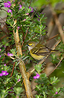 590770012 a wild male white-eyed vireo vireo griseus songbird perches among sage plants on south padre island texas united states