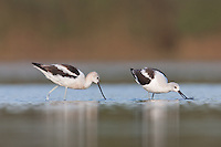 American Avocet (Recurvirostra americana) pair searching for food, East Pond, Jamaica Bay Wildlife Refuge